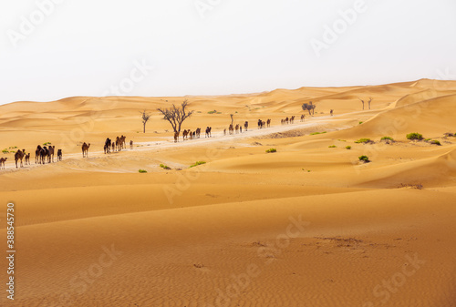 Leinwand Poster camel group, caravan, traveling though the desert, during the day, exposed to th