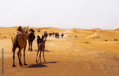 Foto camel group, caravan, traveling though the desert, during the day, exposed to th