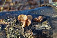 Edible And Healthy Mushrooms Known As Jews Ear, Wood Ear, Or Jelly Ear (Auricularia Auricula-judae)