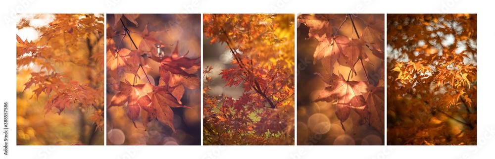Fototapeta Jesienne liście - klon