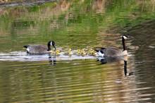 Geese And Goslings - II