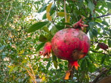 The Red Pomegranate Fruit Ripe...