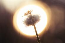 Dandelion On Sky
