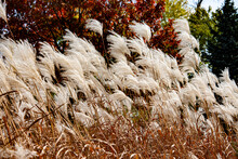 White Feather Grass Sways In T...