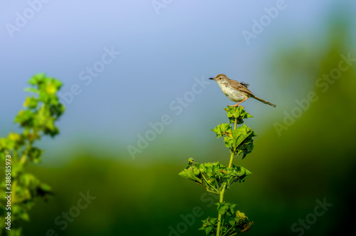 Plain  prinia perched on the plant branch Wallpaper Mural