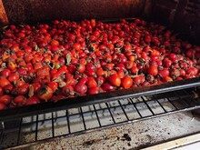The Juicy Rosehip Crop Is Laid On A Baking Sheet And Dried Under A High Temperature.
