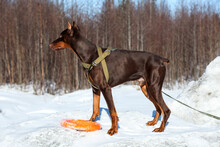 Brown Doberman Dog Standing On...