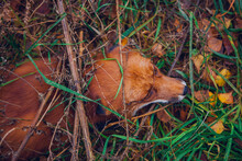 Beautiful Red Fox In Green Grass Close Up, Portrait Of A Fox In Nature