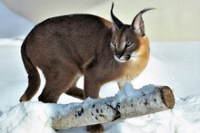 Predatory Wild Cat Caracal On The Background Of Snow In Winter Close Up