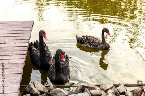 Fotografía Beautiful black swans swim along the banks of a small river