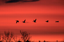 Silhouettes Of Several Flying ...