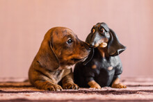 Brindle Dachshund Puppy Sniffing On Humorous Doxie Figurine
