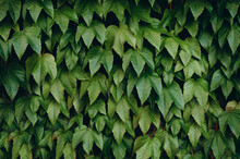 The Texture Of Green Leaves. L...