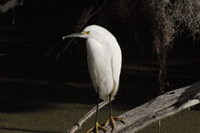 BIRDS- Florida- Close Up Of A Wild Snowy Egret