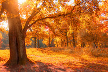 Autumn Forest With Century-old...