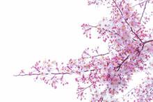 Wild Himalayan Cherry Prunus Cerasoides Blooming On White Background