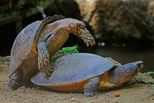 A Pair Of Turtles Are Mating By The Pool.