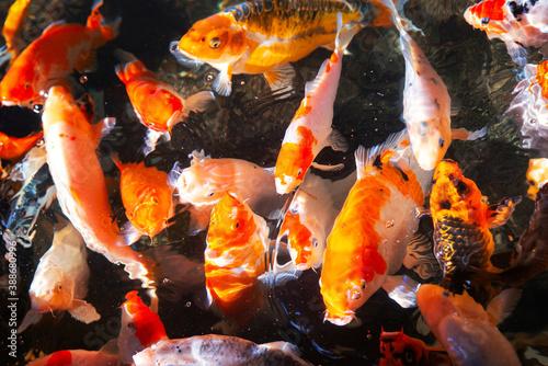 Valokuvatapetti Beautiful colorful koi fish swimming in the pond
