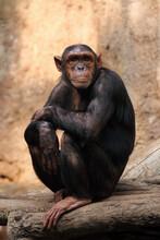 The Common Chimpanzee (Pan Tro...