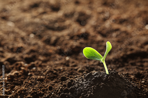 Fotografie, Tablou Young vegetable seedling growing in soil outdoors, space for text