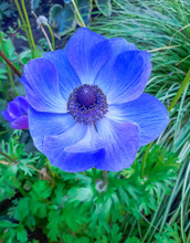 Blue Poppy Anemone In Garden. Selective Focus, Blurred Background, Close Up Macro, Top View.