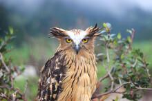 "A Wild Fierce Buffy Fish Owl Or ""Burung Hantu Ketupa Ketupu"" Perched On A Branch At Dieng Plateau Indonesia"