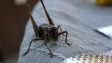 Grasshopper On Wood