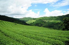 Beautiful Landscape Tea Planta...