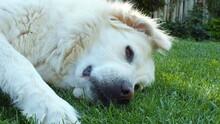 Anatolian Purebred Sheepdog. Akbash,akbas, White Dog