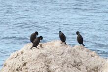 Cormorants Resting On The Rock, Gulf Of Trieste, October 2016