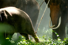 A Baby Elephant Is Being Hunted By An Elephant Mahout. And A Predator Elephant Is A Show Of An Elephant Loop In Surin, Thailand.