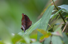 Dark Brown Butterflies Perched...