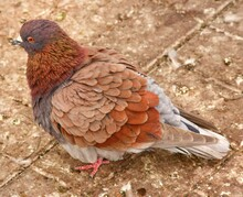 Red Headed Pigeon