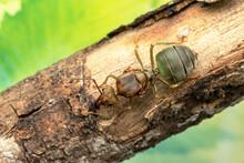 Queen Of Weaver Ants, Oellcoph...