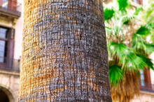 Palm Tree Trunk Bark Details . Exotic Tree In The Tropical City