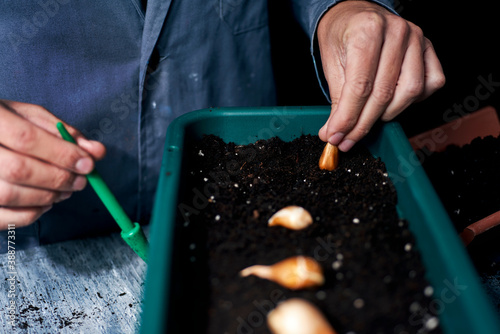 man planting tulip bulbs on a window box