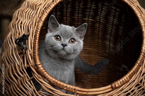 curious blue gray british shorthair kitten resting inside of basket cat carrier looking out at camera © FurryFritz