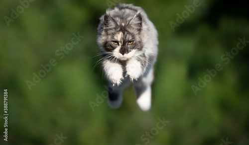 Papel de parede young tortoiseshell white maine coon cat outdoors in nature jumping on green bac