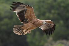 Juvenile Spanish Imperial Eagle (Aquila Adalberti) In Sierra Morena (Spain)