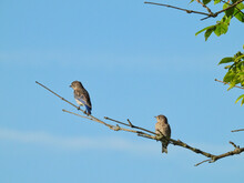 Two Young Male Eastern Bluebirds Perched On A Tree Branch With Blue Sky With Clouds