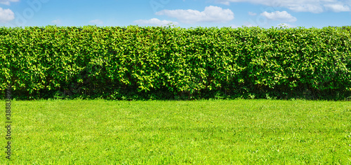 Fotografering Wide Summer garden template - a green lawn and a long big hedge on a blue sky ba