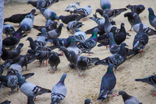 A Flock Of Pigeons In The Sand...