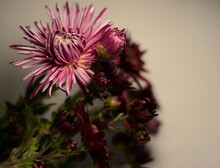 Autumn Pink Chrysanthemums Of Two Varieties On A Gray Background