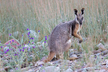 Yellow-footed Rock Wallaby Feeding In Grassy Field