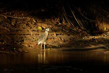 Yellow-crowned Night-Heron - N...