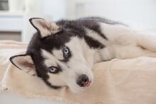 Portrait Sad Husky Dog Lies On...