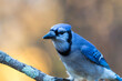 Blue Jay, Cyanocitta cristata, closeup looking left with golden fall foliage background copy space
