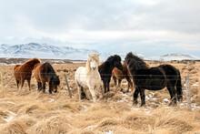 A Herd Of Fluffy Icelandic Hor...