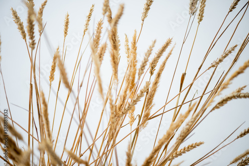 Foto bunch of golden barley on white background
