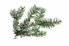 Common Yew Branch Isolated On White Background (Taxus Baccata)